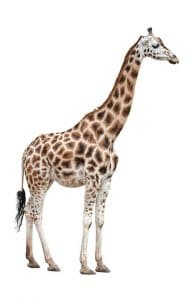 lower classifiation rothschild giraffe