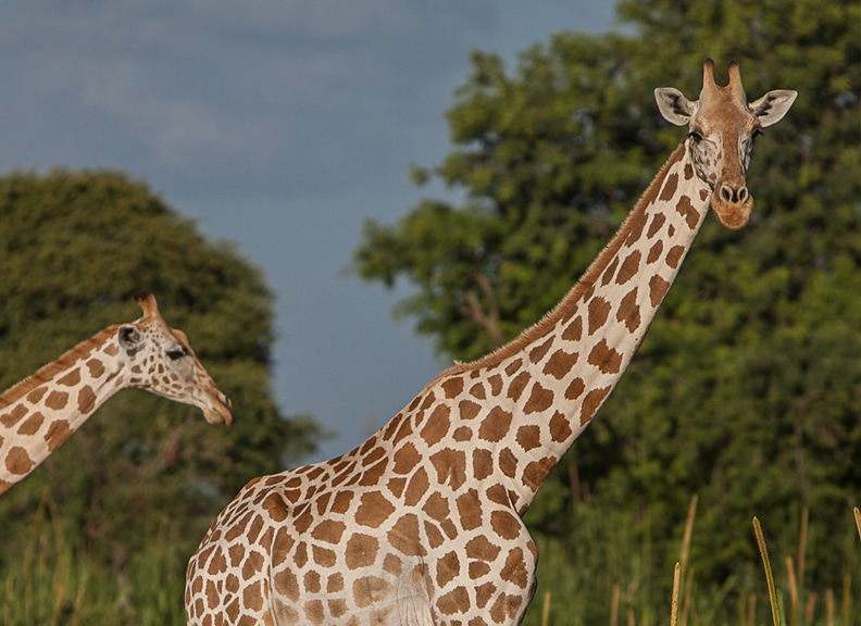 lower classification west african giraffe