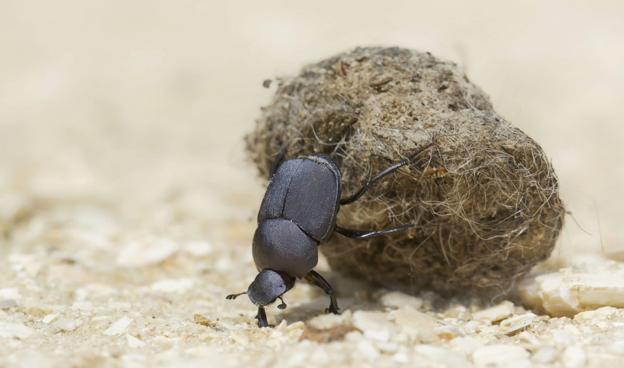 facts dung beetles