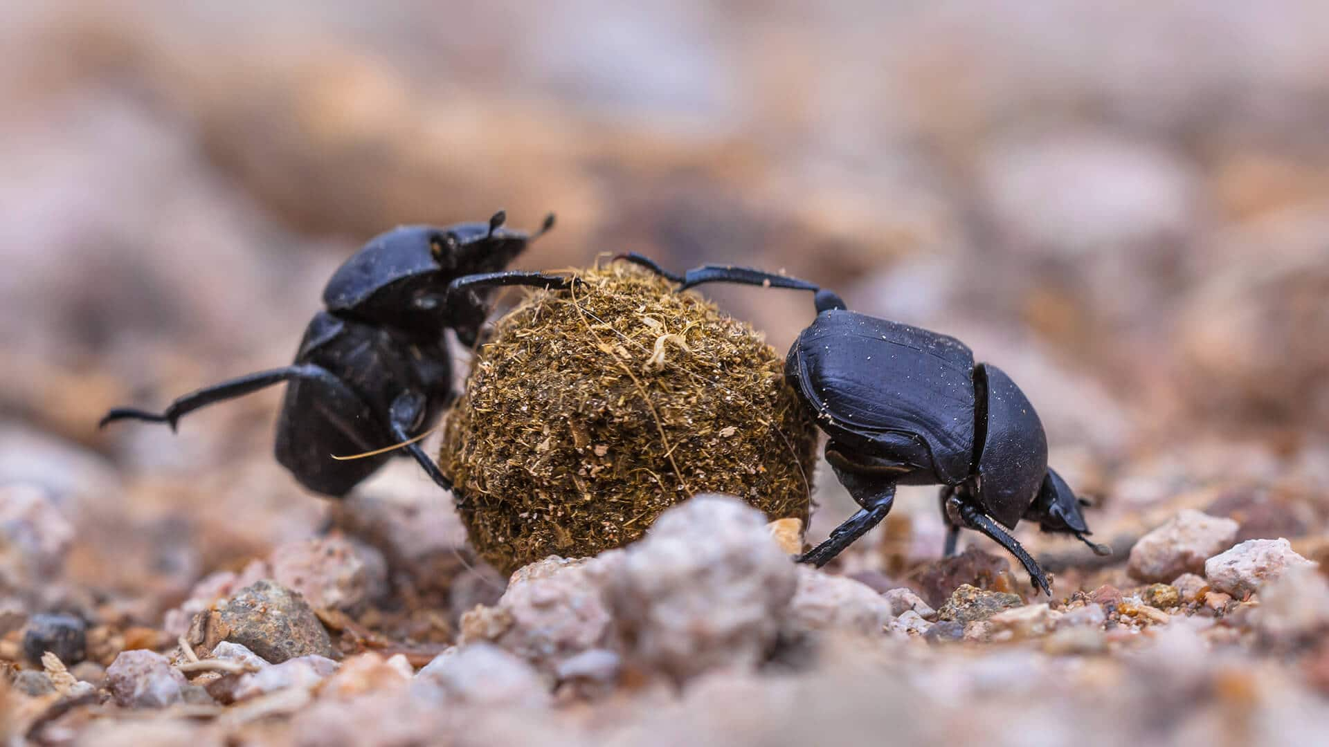 dung beetle facts and information