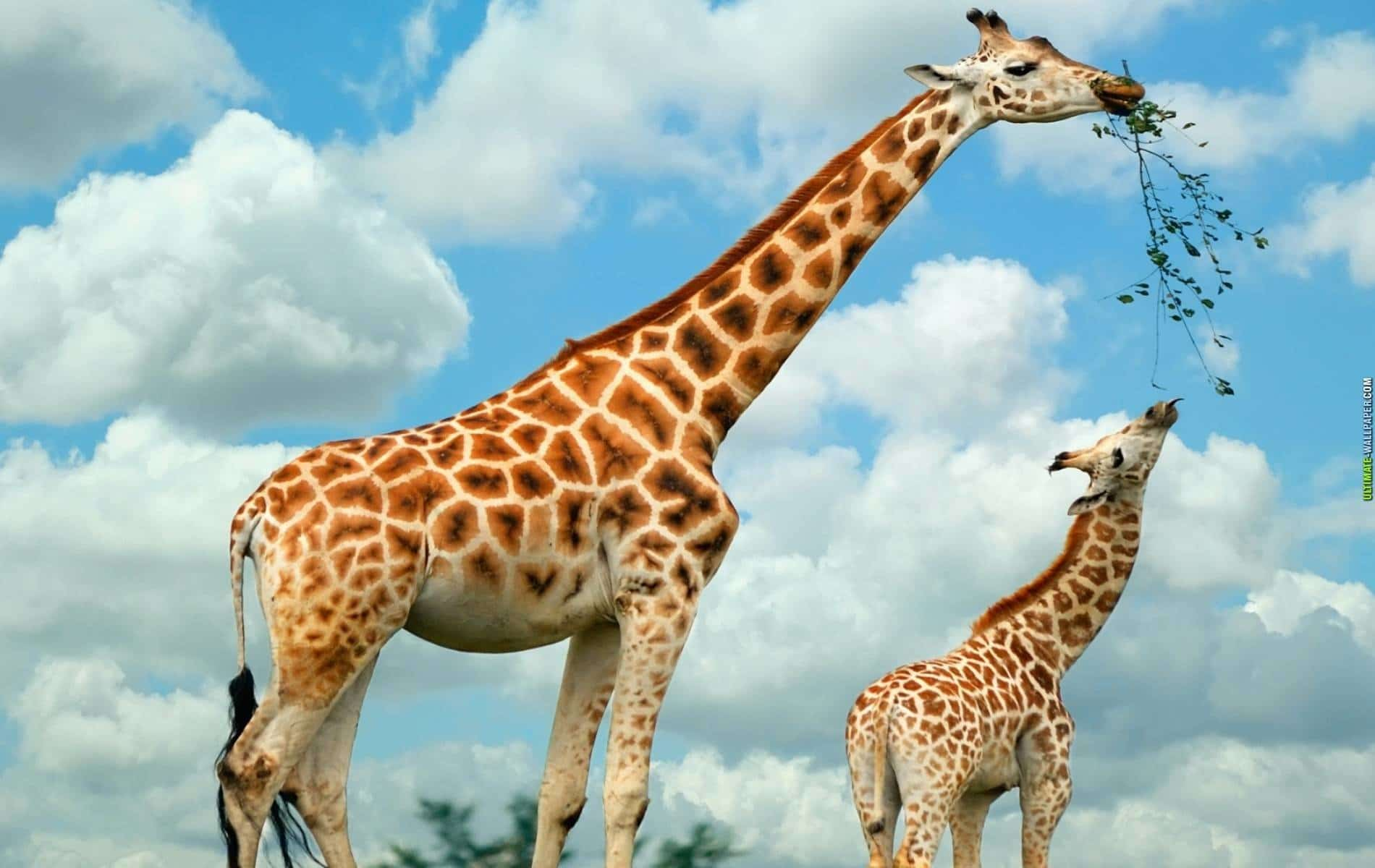 Giraffe Facts, Information Pictures and Video Learn More