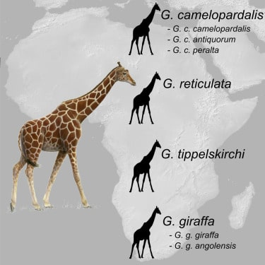 giraffe species africa