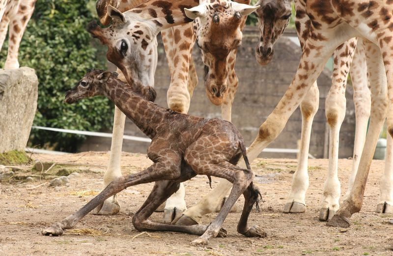 giraffe at birth