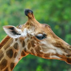 lower classifications of giraffe northern giraffe