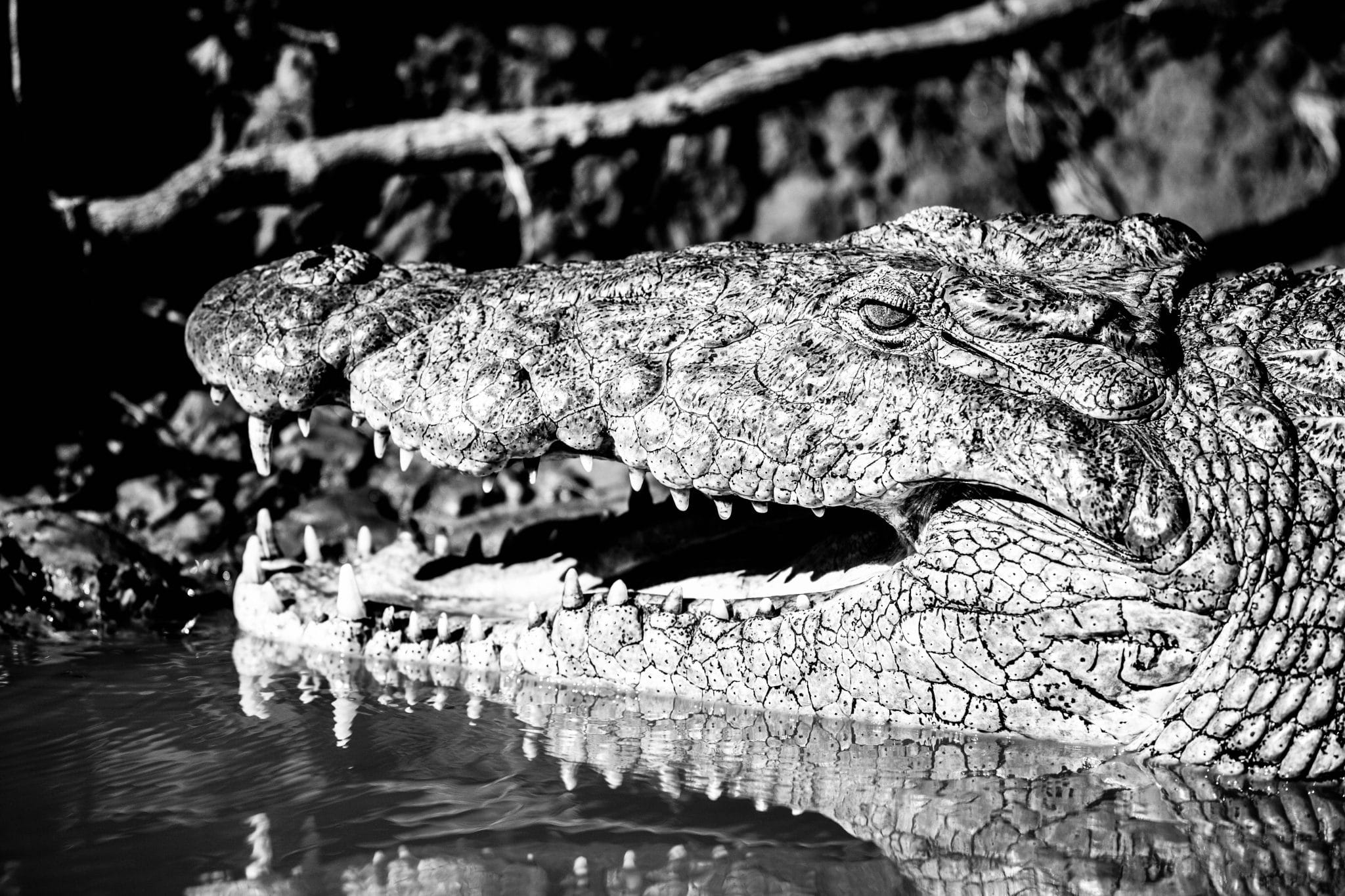 nile Crocodiles (Crocodylus niloticus) facts