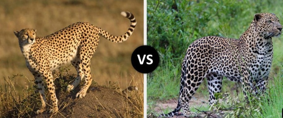 cheetah vs leopard comparison picture