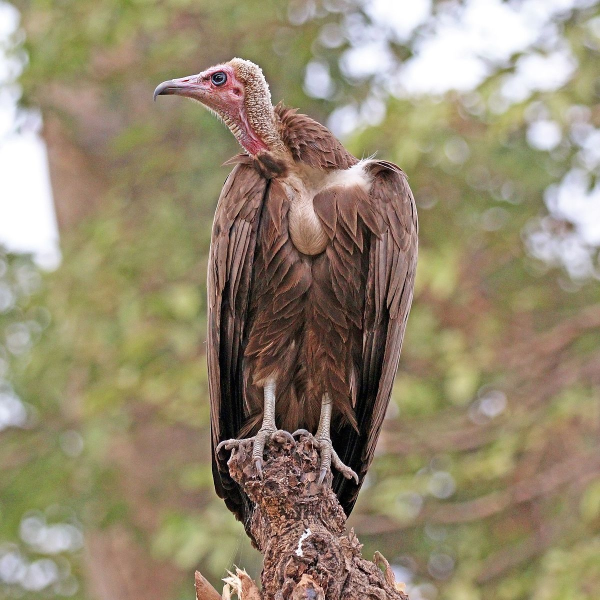 hooded vulture facts