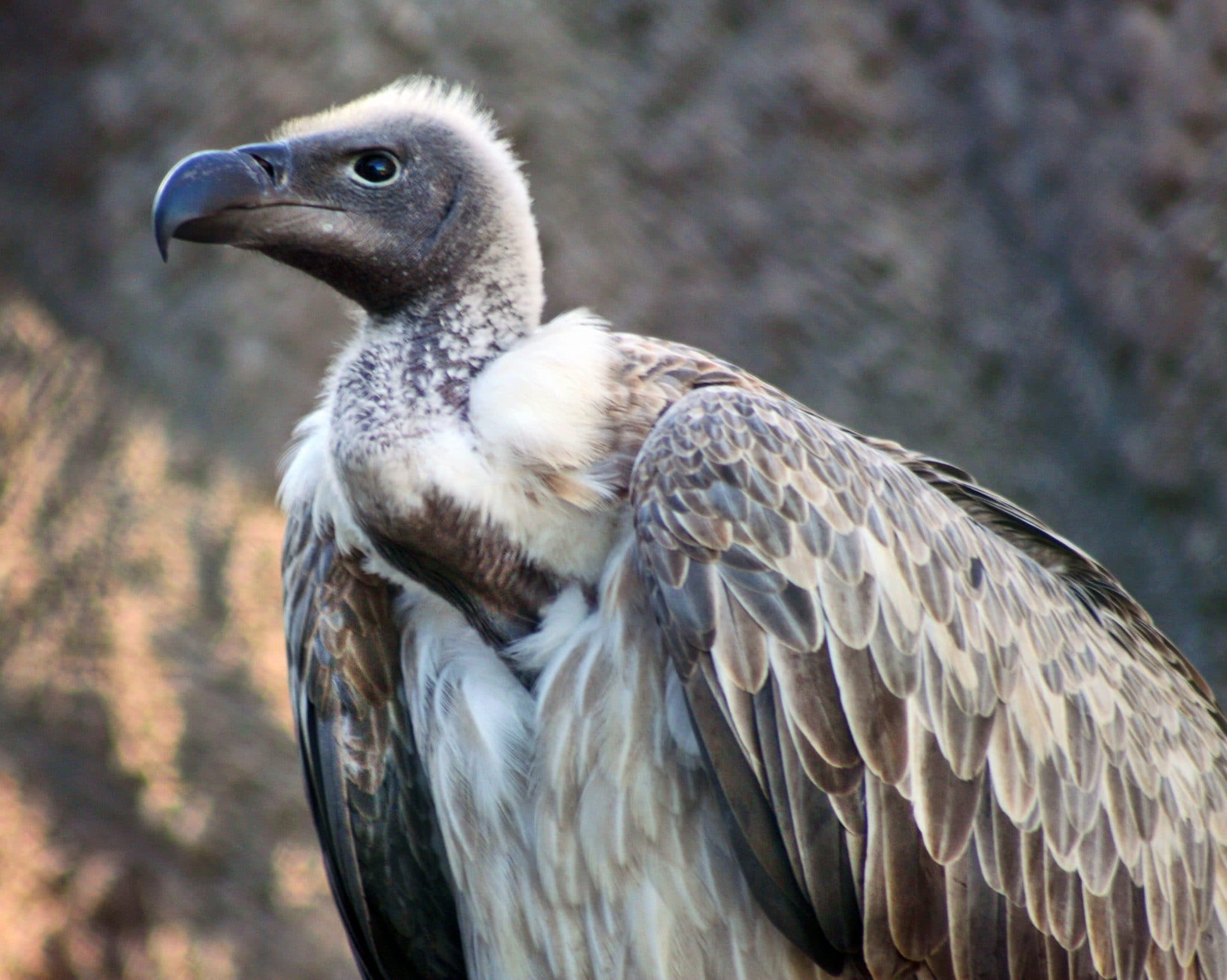 vulture white-backed info