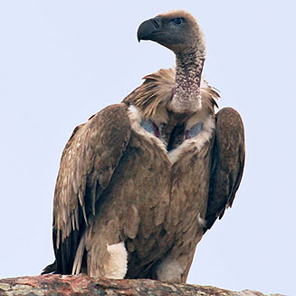 vultures cape vulture facts