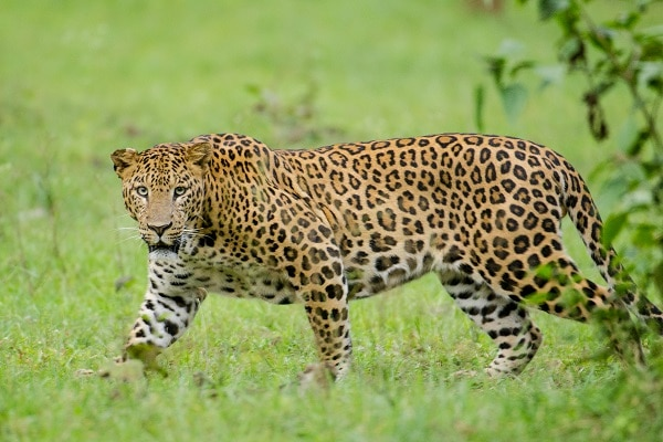 leopard indian