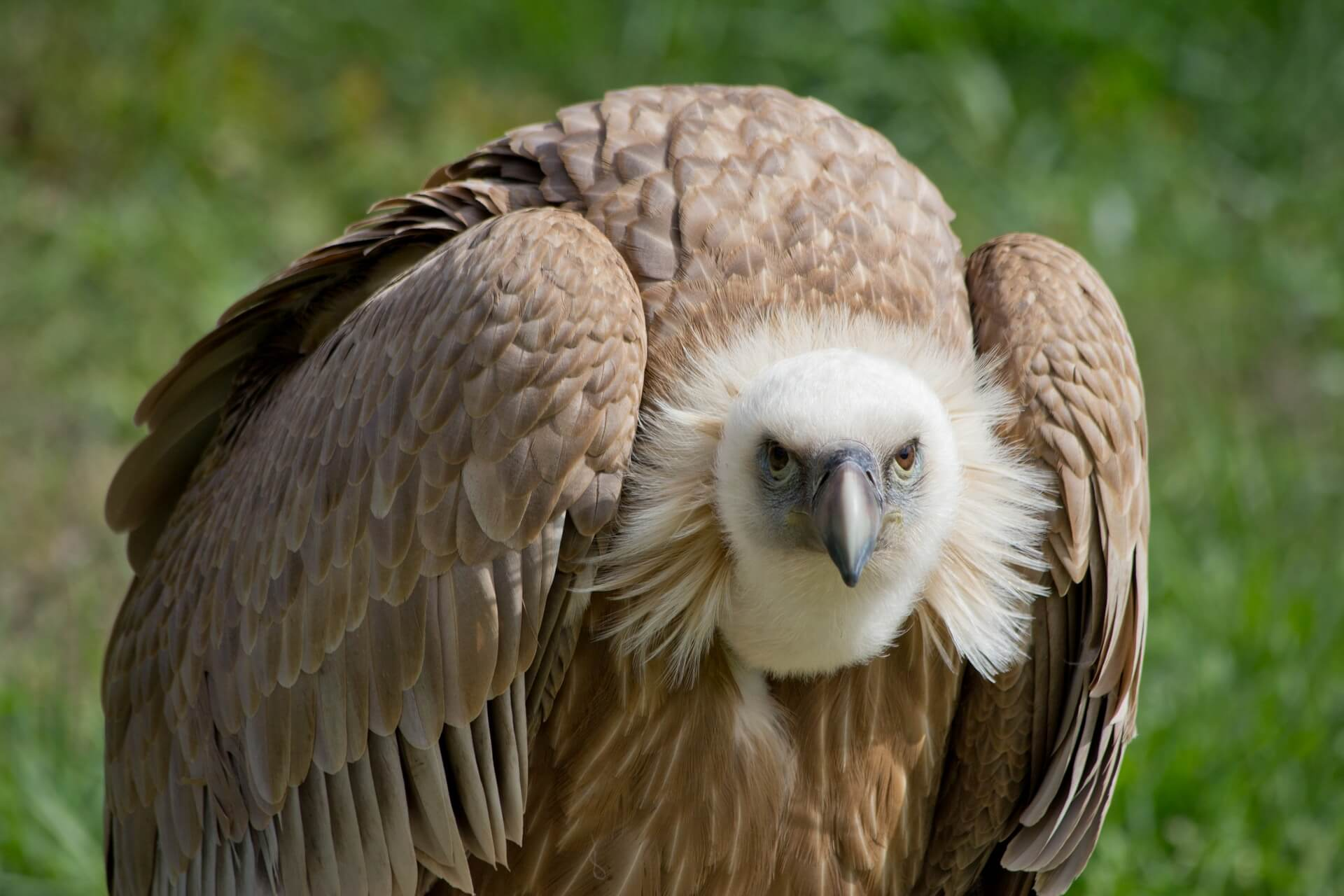 vultures facts and info