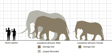 size comparison of elephant and human