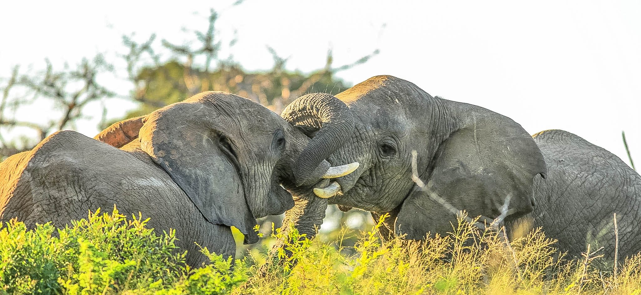 How Elephants use their trunks to eat and drink facts
