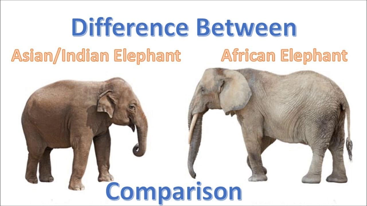 african and asian elephant comparison