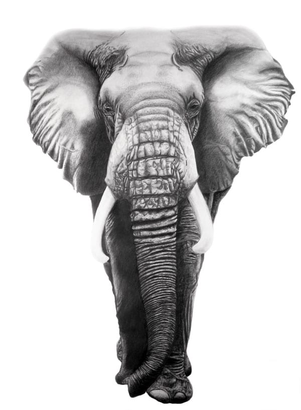 Elephant Information, Facts, Pictures & Video Learn More ...