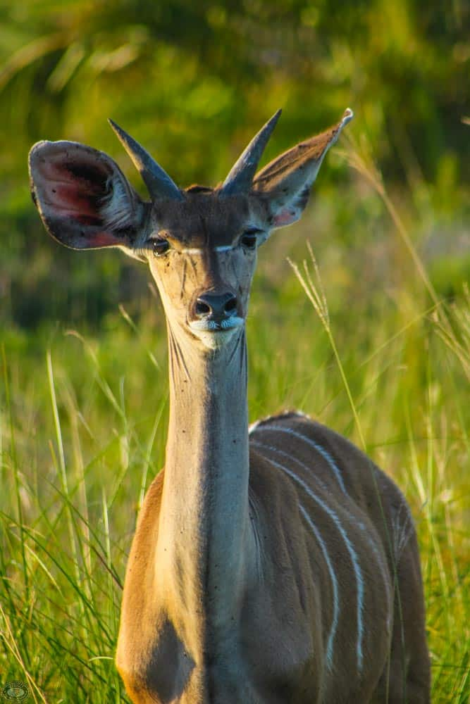 adolescent male nyala
