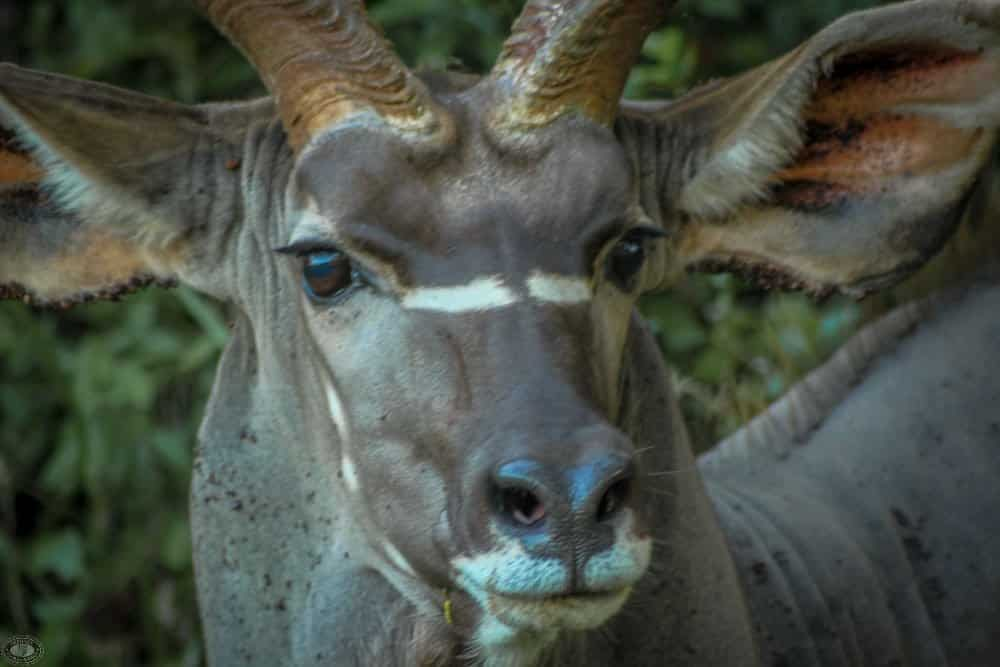 mature nyala male side view