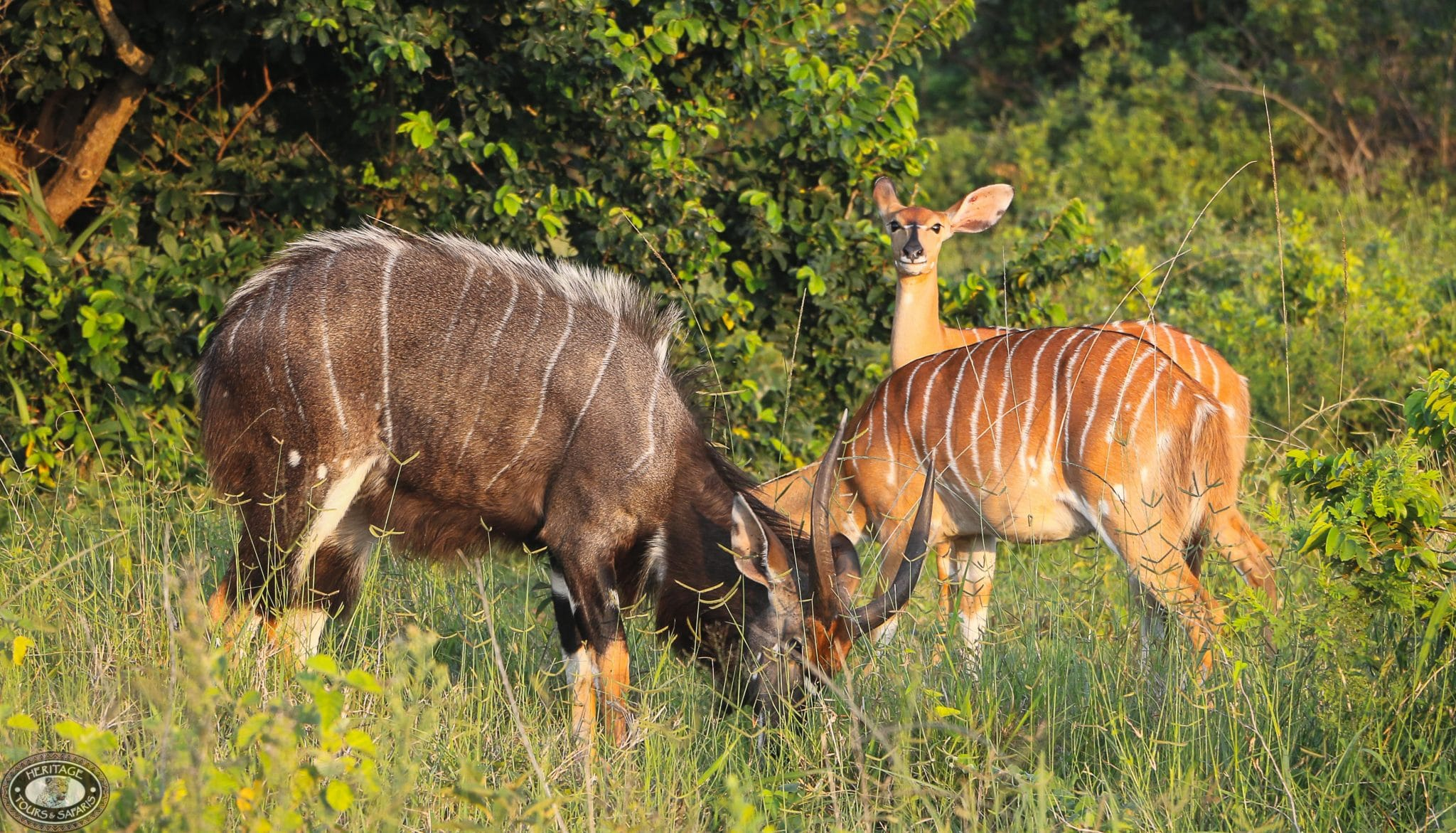 Nyala male & female