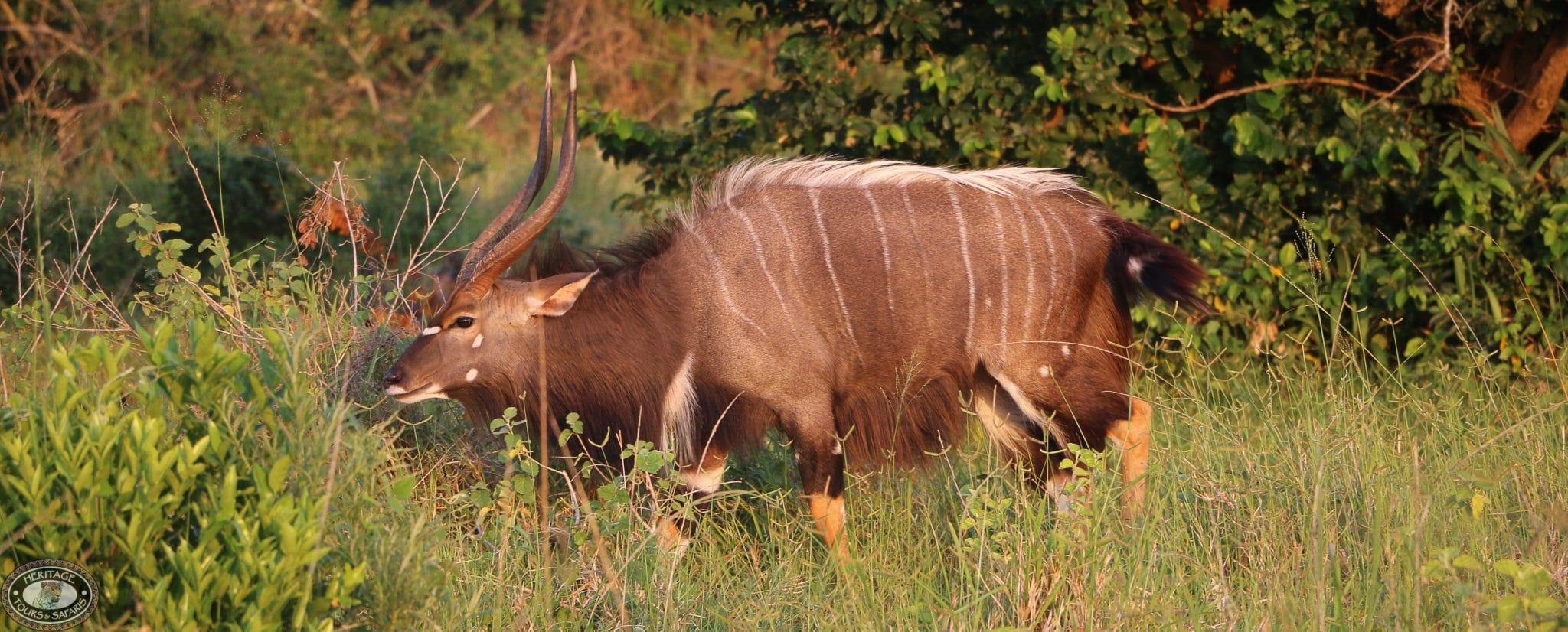 nyala facts bull