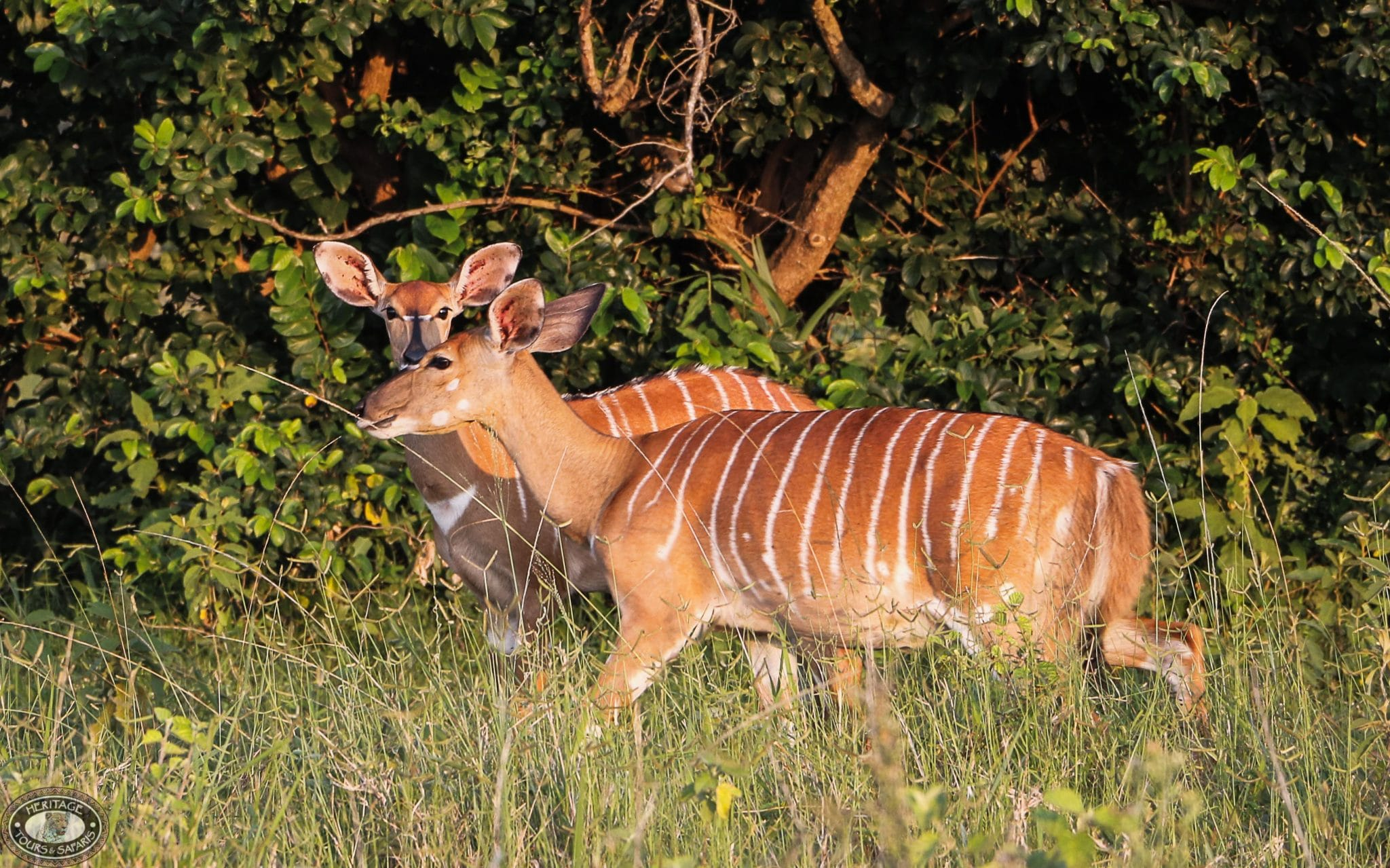 nyala female facts