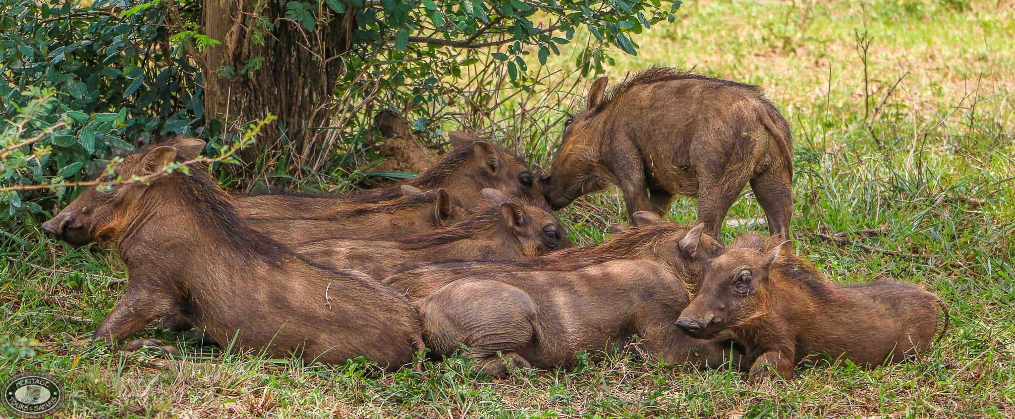 warthog family Sounders