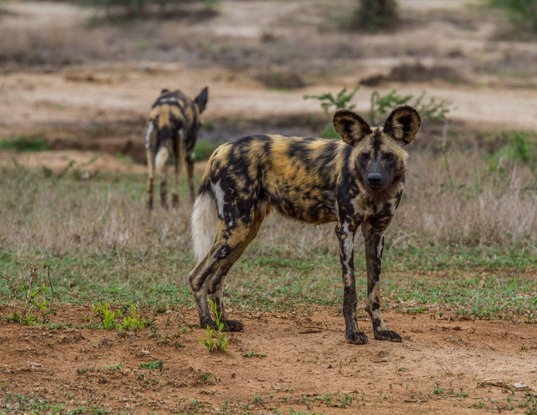 Where can you see African Wild Dogs in the Hluhluwe-Imfolozi Park, sontuli area