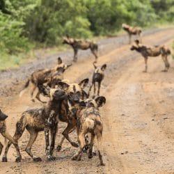 african wild dog safaris hluhluwe-imfolozi park