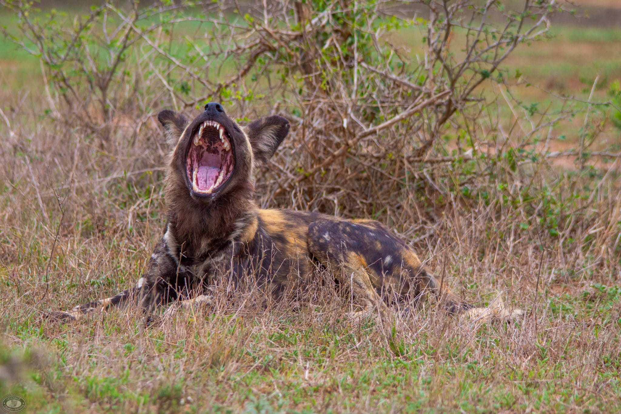 are african wild dogs agressive to humans? no