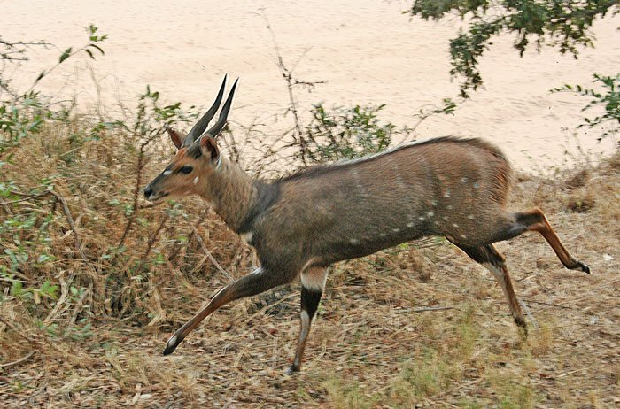 bushbuck facts