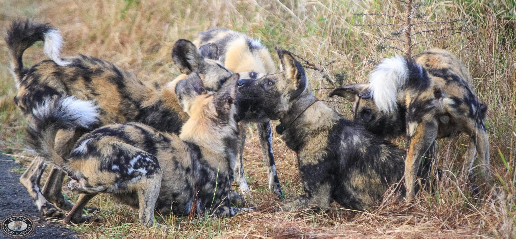 wild dog social behavior