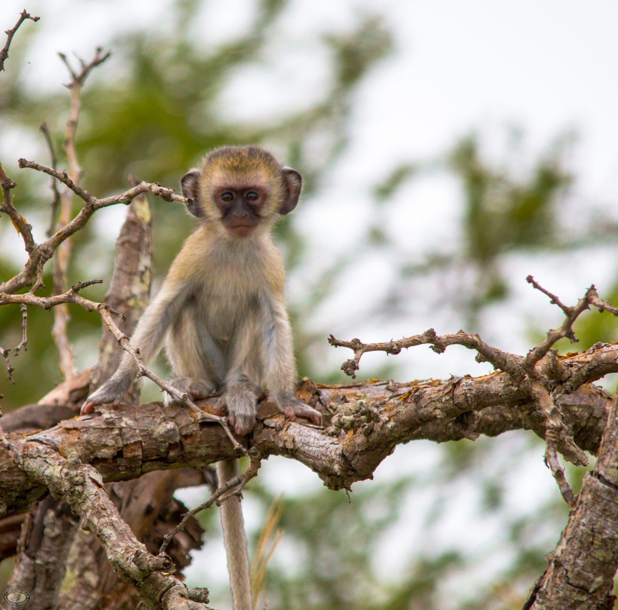 Baby vervet monkey on perch