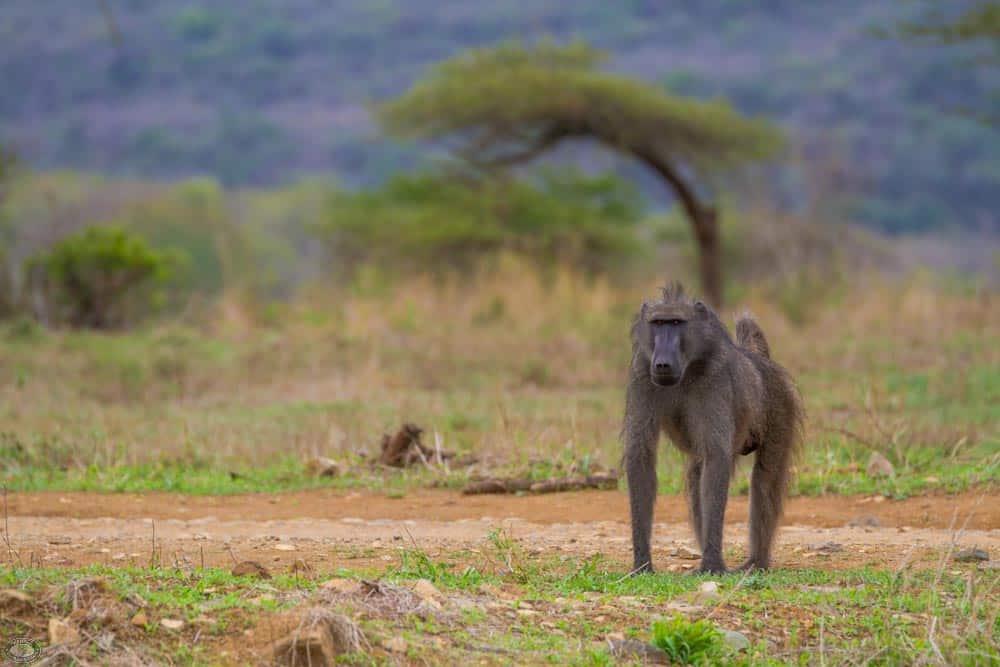 african baboon roaming the Hluhluwe-Imfolozi Park