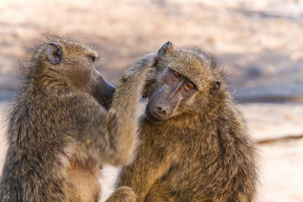 african baboon physical characteristics