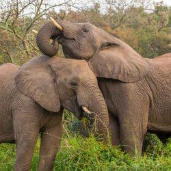 elephants herbivores