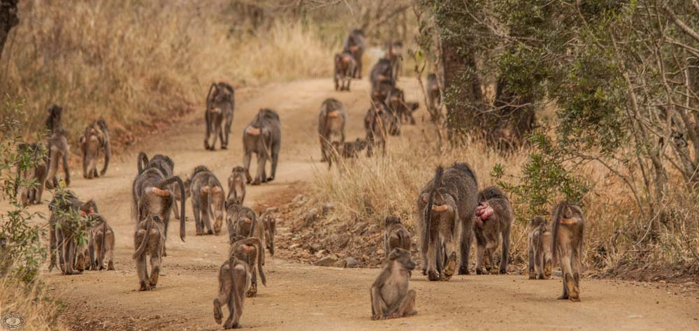 troop of african baboons