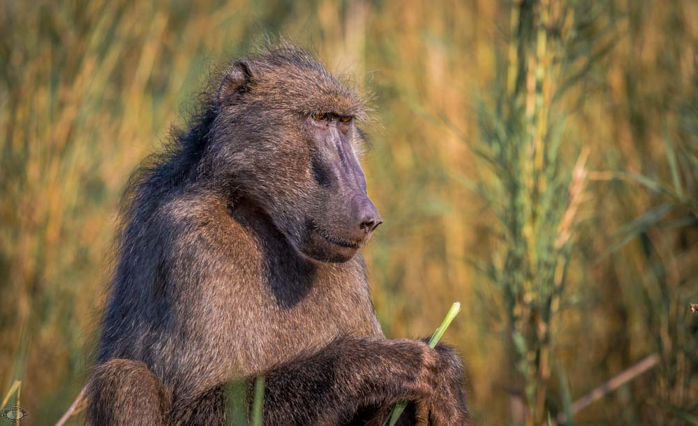 single african baboon in bush
