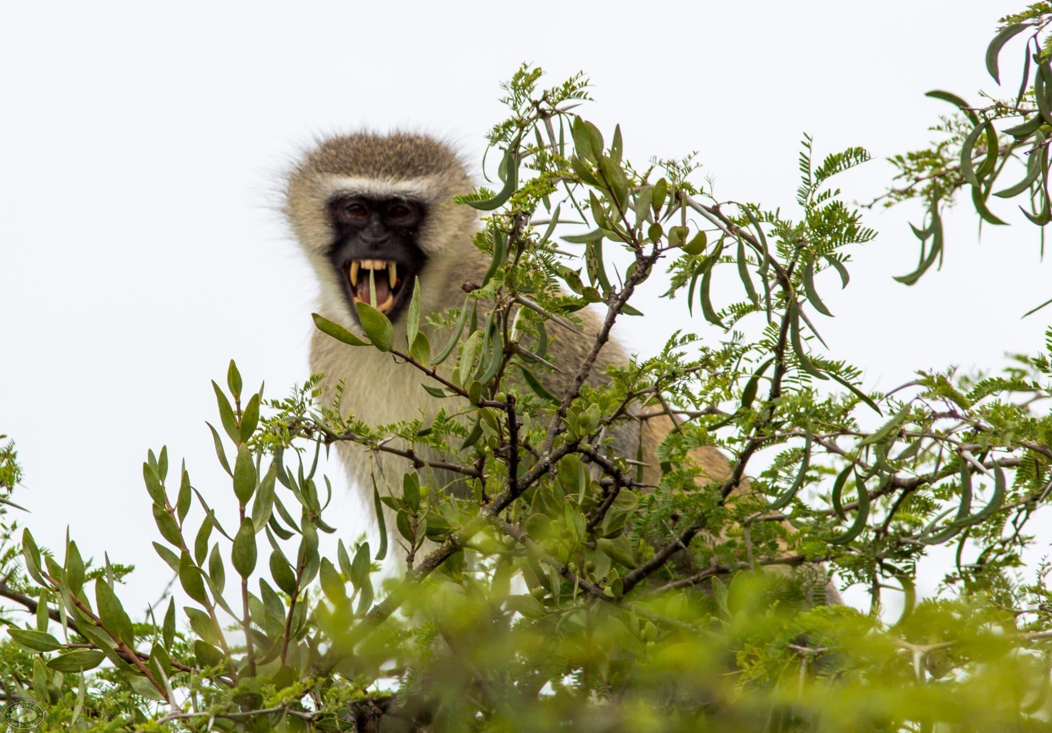 vervet monkey Teeth