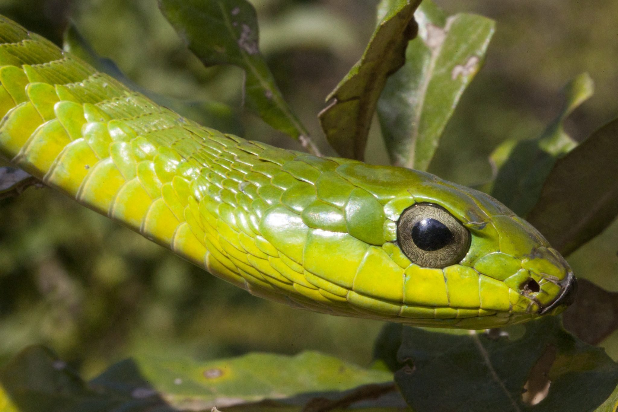 Male-Boomslang