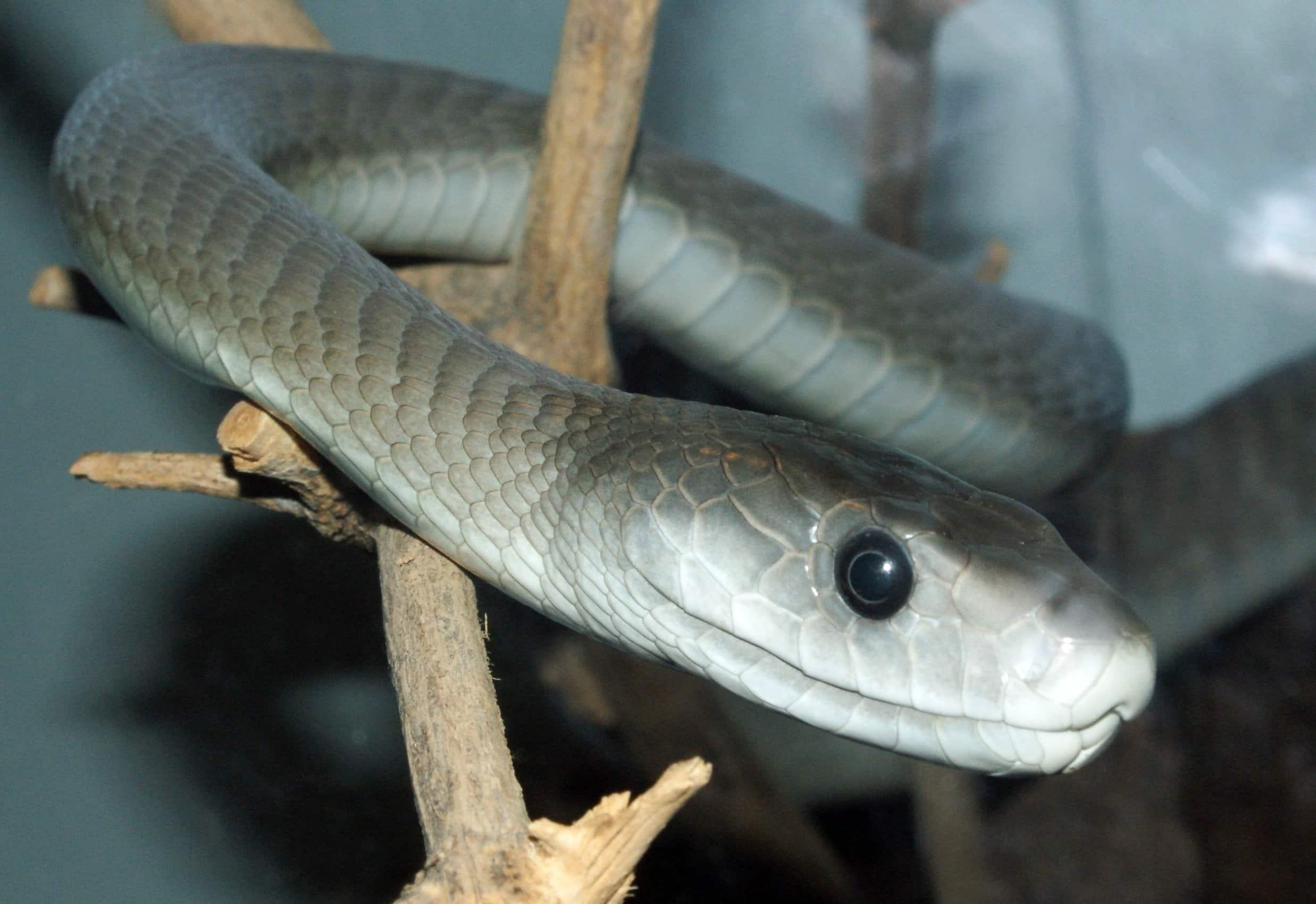 Black and Green Mamba Snake - Hluhluwe Game Reserve