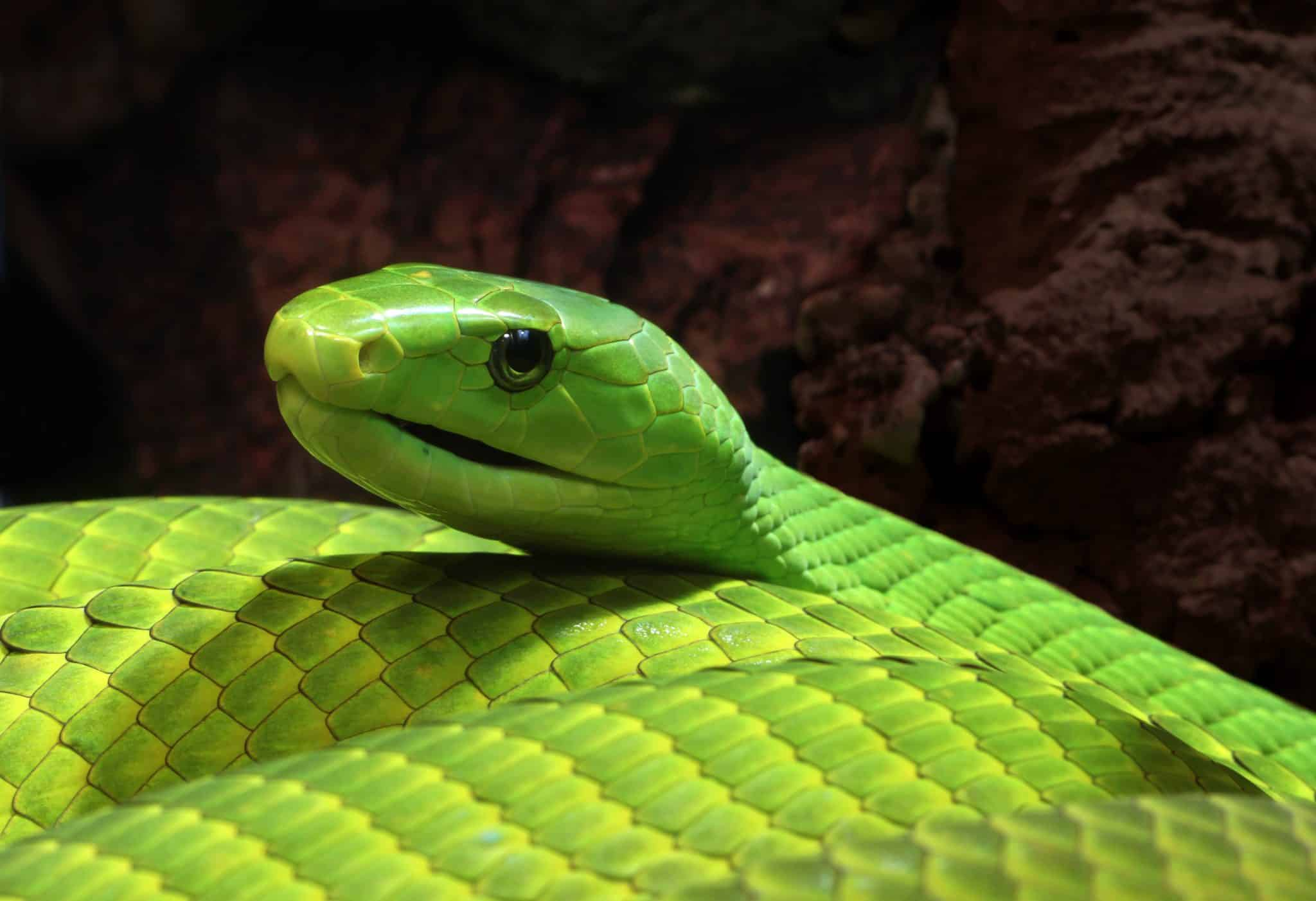 Black and Green Mamba Snake