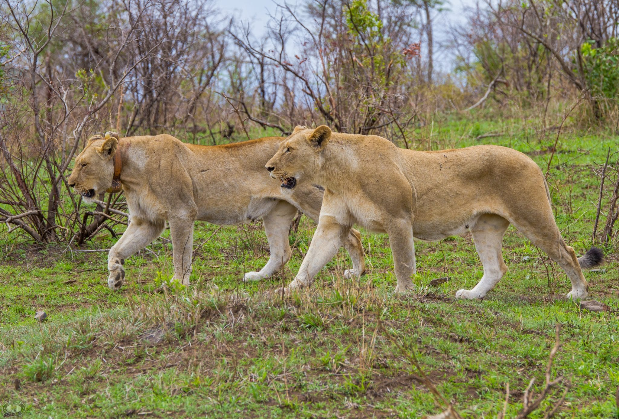 mkuze game reserve lions