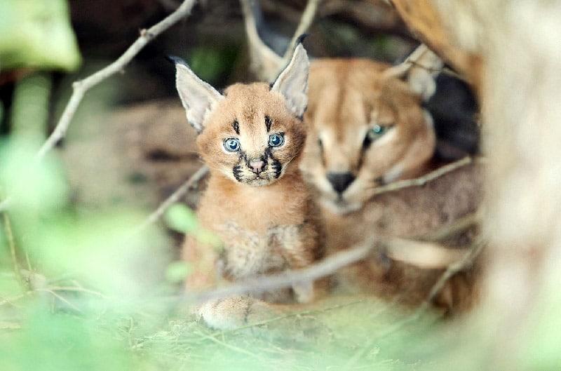 Carcal lynx kitten