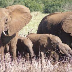 elephants in mkuze game reserve