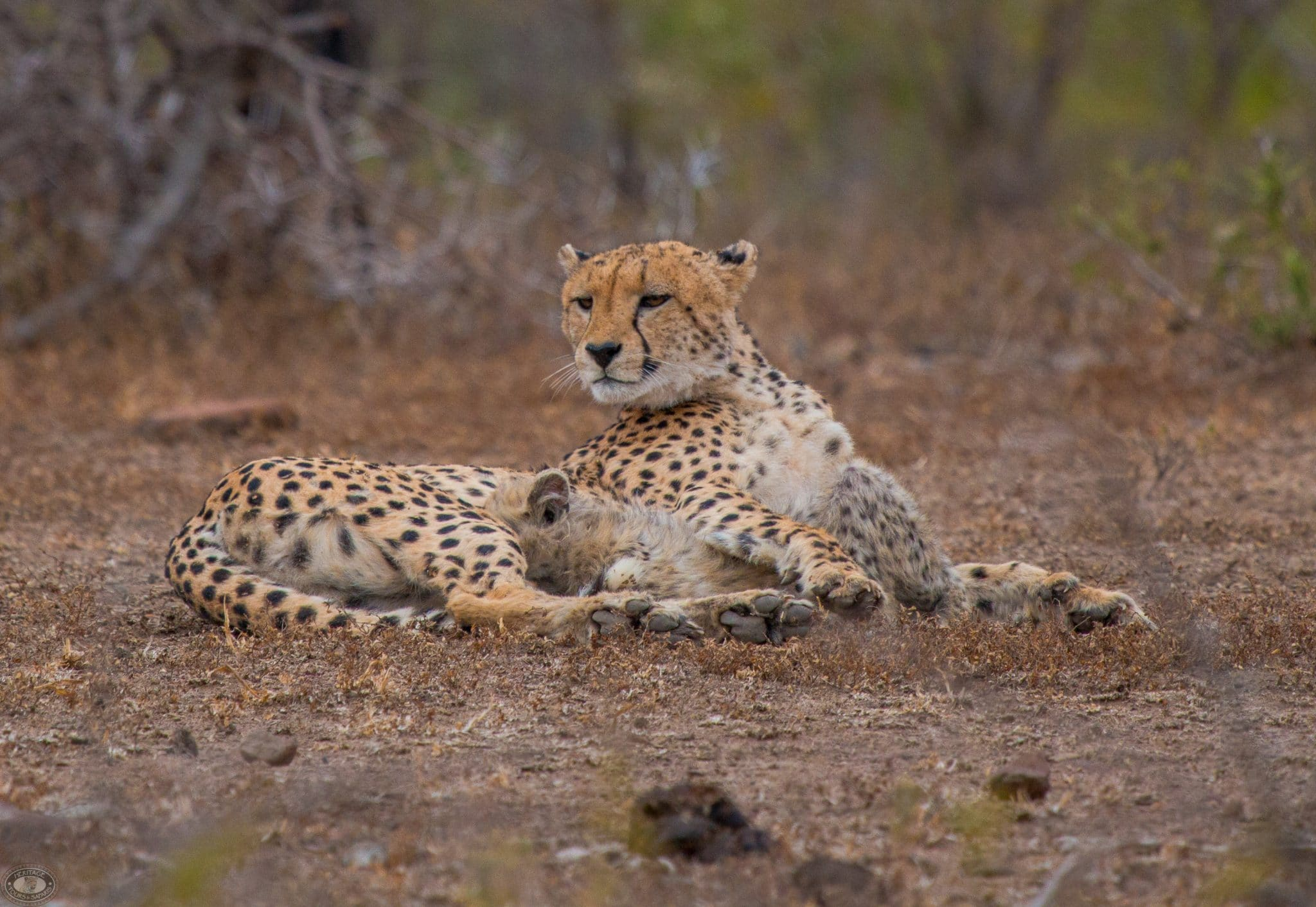 hluhluwe cheeta centre mother and cub