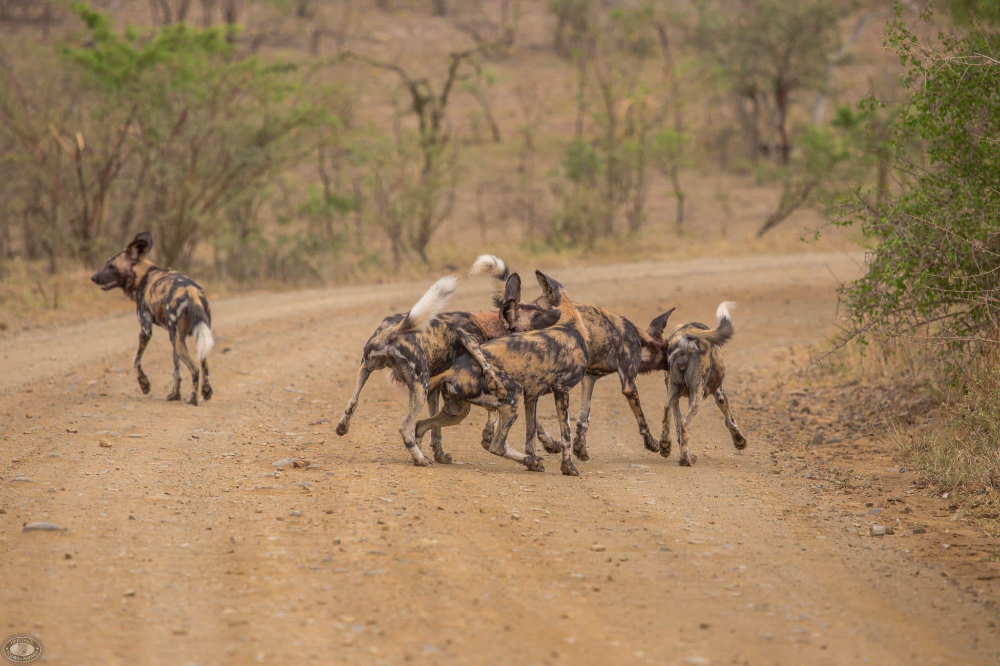 hluhluwe-imfolozi park wild dog pack