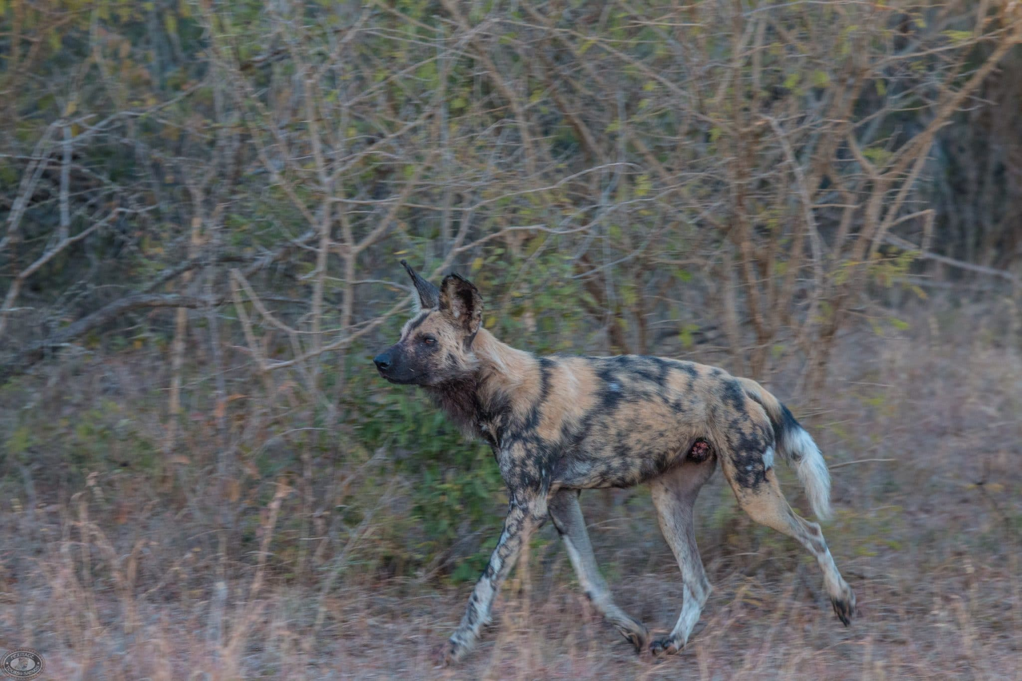 new wild dogs released into hluhluwe