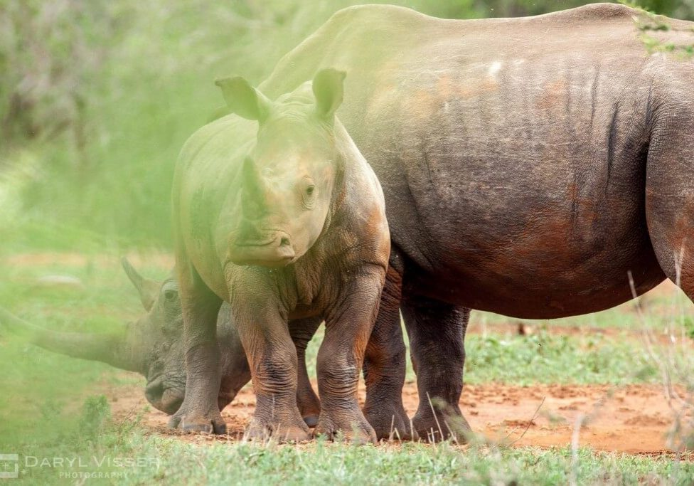 white and black rhino facts