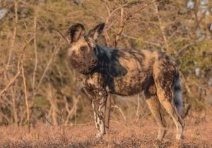 9 new wild dogs released into the Hluhluwe-Imfolozi Park