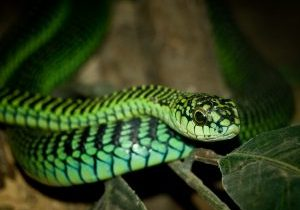 BoomSlang or Tree Snake