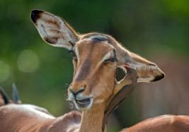 impala animal facts